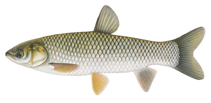 Les carpes asiatiques ont été découvertes dans le fleuve Saint-Laurent. | Gracieuseté