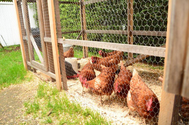 À l'heure actuelle, aucun règlement n'encadre les poules urbaines à Saint-Roch-de-Richelieu. | TC Média - Archives/Sarah-Eve Charland
