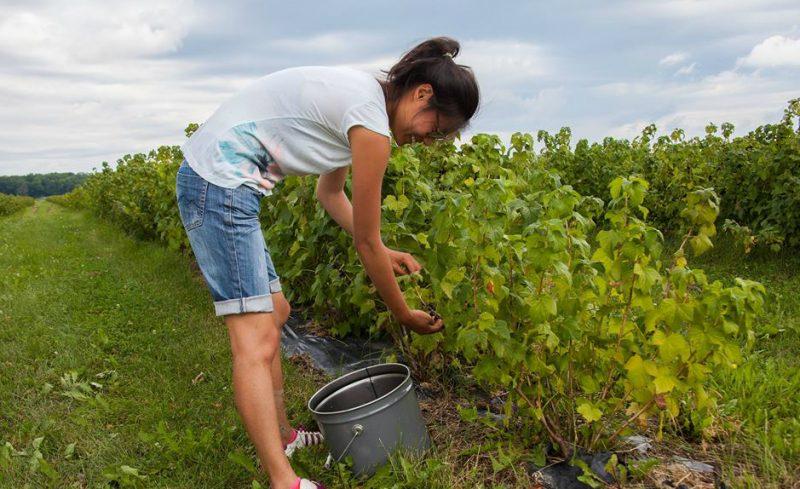 Dans le cadre du projet Les Récoltes oubliées, Sophie Pagé-Sabourin a cueilli des cassis pour en distribuer dans les organismes communautaires de la région. | Gracieuseté