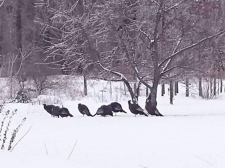 Une vingtaine de dindons sauvages ont trouvé sur la terre de Linda Dufault, à Saint-Robert, de quoi se nourrir. | Photo : Gracieuseté