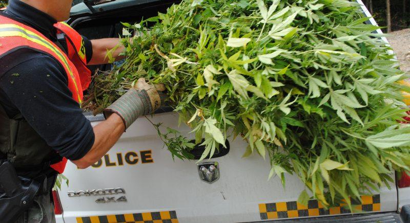 Plus de 130 plants de cannabis ont été saisis dans une résidence de Saint-Robert le 17 juillet dernier. | Photo: TC Média – Stéphanie MacFarlane