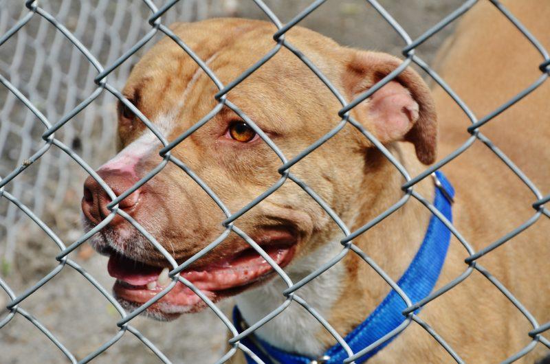 En moyenne, entre 30% et 40% de la population canine au Centre animalier Pierre-De Saurel sont des pitbulls. | TC Média - Julie Lambert