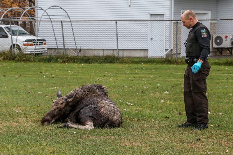 L'orignal a été endormi par les agents de la faune avant d'être relâché dans la nature. | TC Média - Pascal Cournoyer