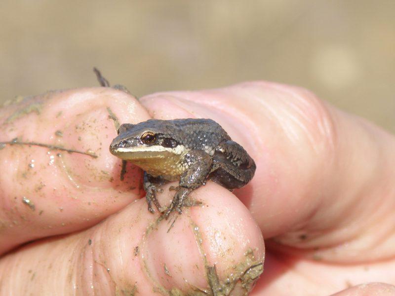 La grenouille rainette faux-grillon a aussi des habitats à Contrecœur. | Photo: TC Média - archives