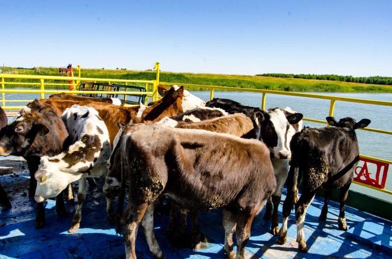 Les vaches ont été transportées sur ce bac, le 17 juillet, pour se rendre sur l'île du Moine. (Photo: Stéphane Martin)