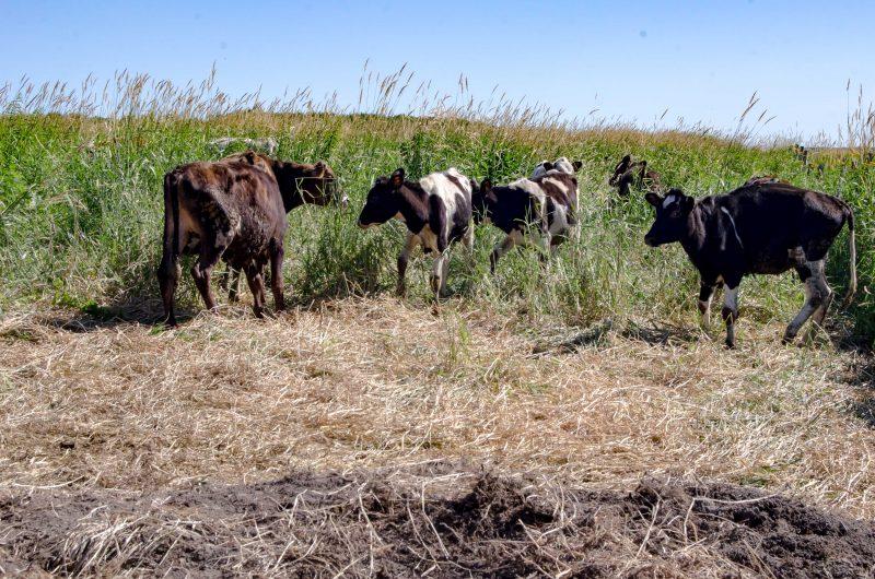 Les vaches lors de leur arrivée sur l'île, le 17 juillet (Photo: Stéphane Martin)