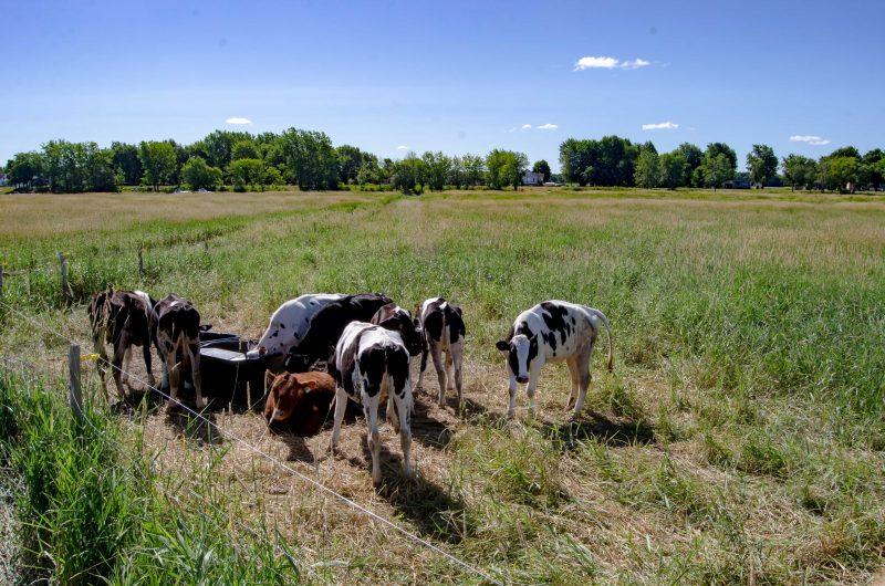 Des vaches sont arrivées sur l'île le 17 juillet. L'activité de nettoyage des berges aura lieu le 9 septembre. (Photo: Stéphane Martin)