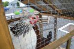 Les poules en milieu urbain encore marginales à Sorel-Tracy