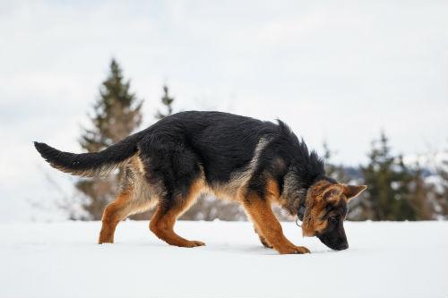 Les deux chiens ressemblaient à des Bergers allemands.  Photo despostitphotos.com