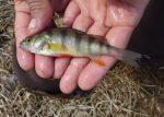 Pêche à la perchaude : une série de fascicules pour relancer le débat