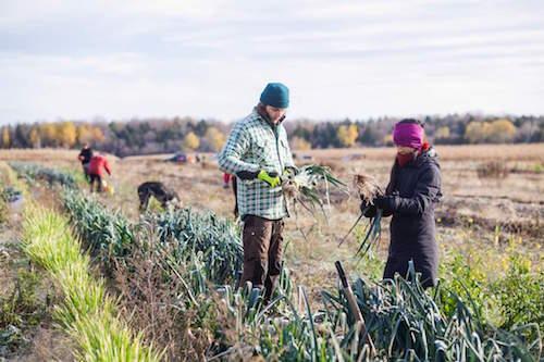 Une vingtaine de bénévoles s'impliquent pour récolter des surplus maraichers à redistribuer.  Photo gracieuseté