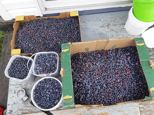 Plusieurs dizaines de livres de bleuets ont été récoltées et remises à la Porte du Passant.  Photo gracieuseté