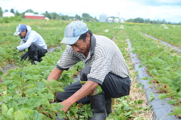 Une cinquantaine de travailleurs étrangers sont employés dans des fermes du territoire. Photothèque | Les 2 Rives ©