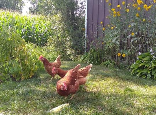Déjà 20 permis pour la garde de poule ont été demandés cette année à Sorel-Tracy. Photo gracieuseté