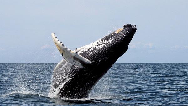 Une baleine à bosse aperçue à Sorel-Tracy