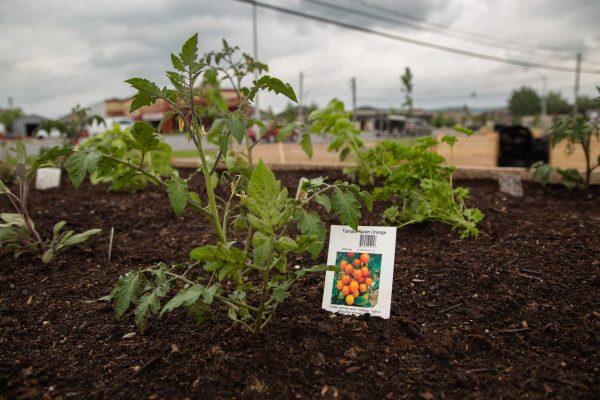 Coup de pousse, un projet d'agriculture urbaine du CJE Pierre-De Saurel