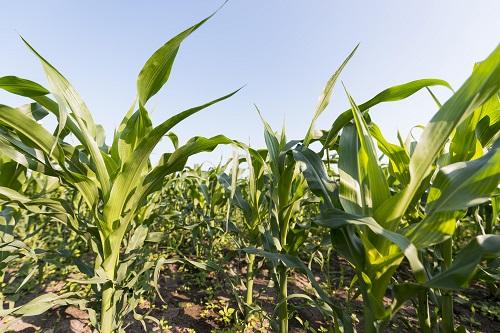 Les prochaines semaines seront déterminantes pour la récolte de maïs et de soya.  Photo freepik.com