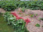 Couvrir le sol de paillis de chanvre pour favoriser la biodiversité